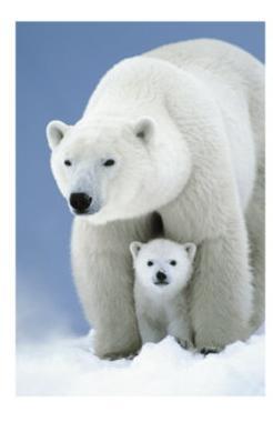 Mama Eisbärin mit Baby