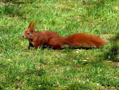 In unserem kleinen Park in Wilhelmsruh gibt es  SEHR viele Eichhörnchen.