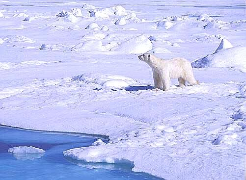 Im derzeitigen Kinofilm : Unsere Erde wird uns erklärt, dass im Jahre 2030 die freilebenden Eisbären ausgestorben sein werden...