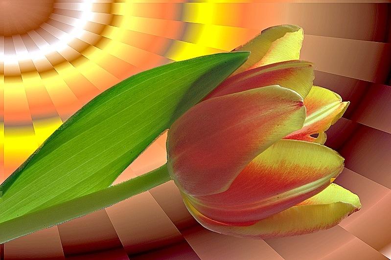 wunderschöne Tulpe - ein Traum
