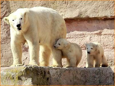 Nürnberger Eisbärennachwuchs Gregor und Aleut erstmals im Freien. Mutter Vera ist 8 Jahre alt.
