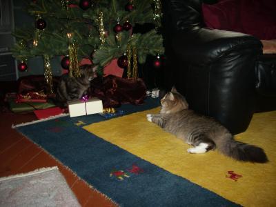 Drei Katzen und trotzdem Lametta und Kugeln-- alles blieb hängen :-)