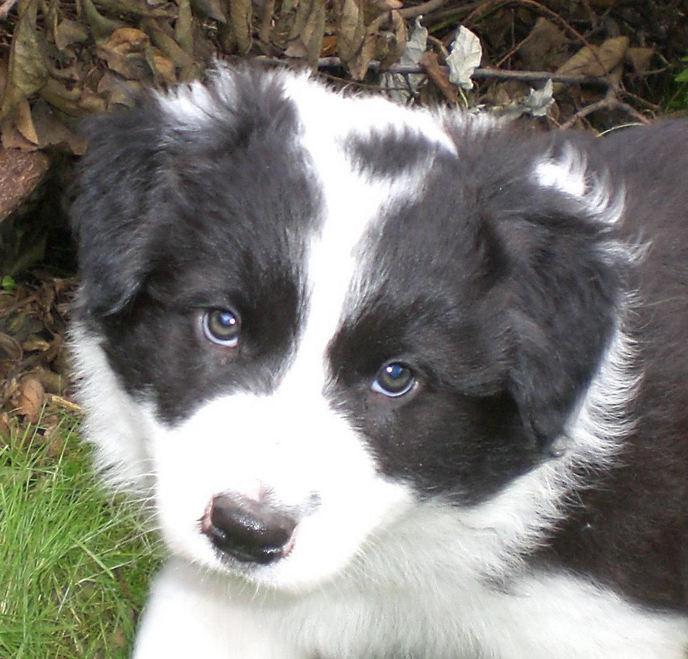G And H Border Collies Hodowla Border Collie ...