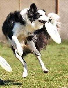 dogfrisbee, Hodowla Border Collie - Rewolucja