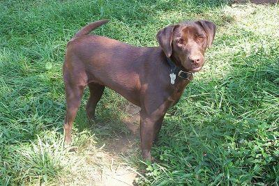 Best Dog Toys For Labrador Retrievers