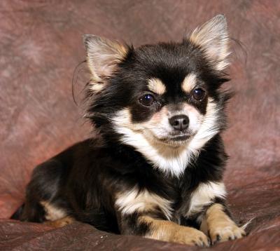 ♥Hundies♥ - Chihuahua