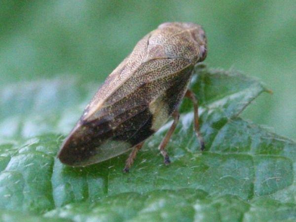 insektenwelt in der rh n und umgebung zikaden schaben 44. Black Bedroom Furniture Sets. Home Design Ideas