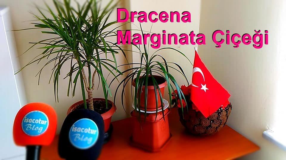 Dracena Marginata Çiçeği