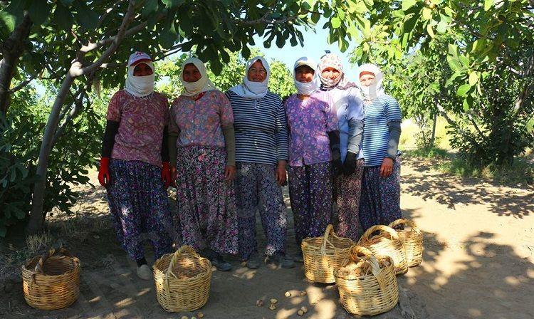 İncir Hasadında Çalışan Kadınlar