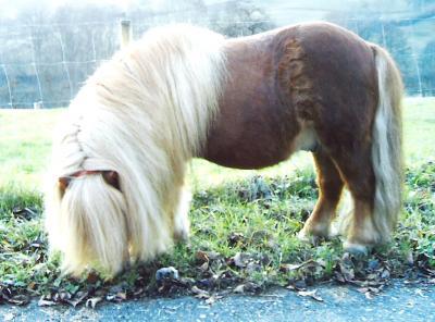 Bennie von der Ponylust im Alter von fast 20 Jahren