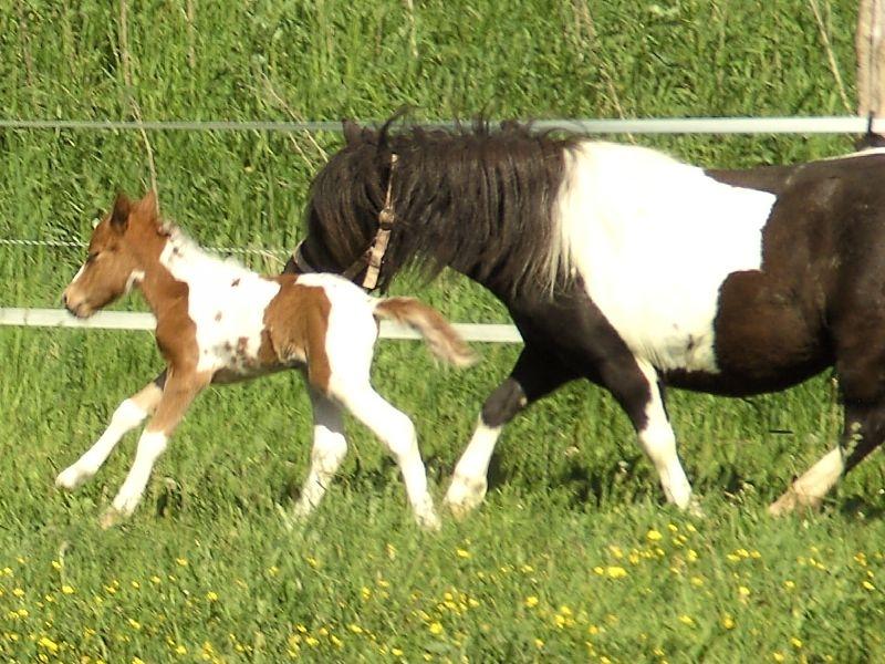 Isarons Ninette, das erste Fohlen von Natalie, gerade ein paar Stunden alt.