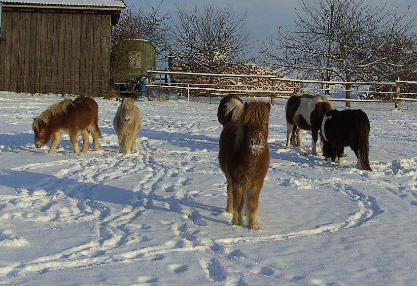 Die Isaroner Shettys auf der Winterkoppel