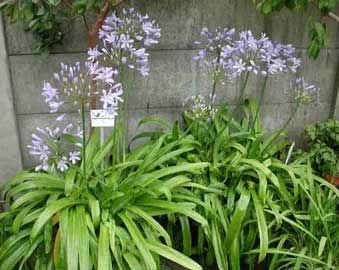 Jardineria la encantada plantas para exterior for Planta ornamental blanca nieves