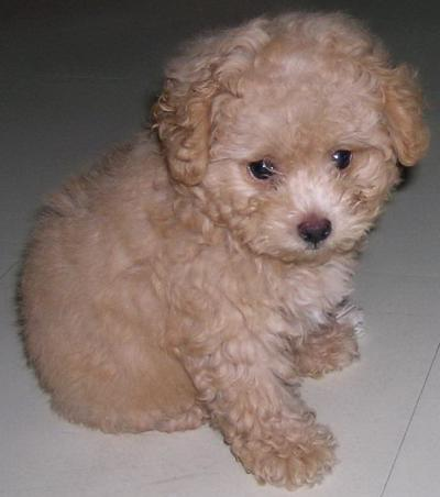 Maltese Dog Breed Information Pictures Characteristics