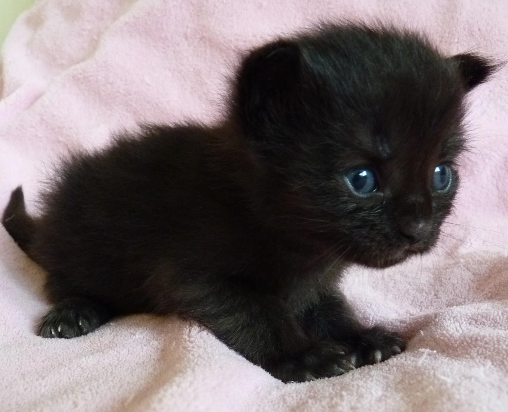 auch weisse typvolle Maine Coon Kitten aus typvoller Maine Coon Zucht mit Stammbaum, Papiere, MaineCoonKitten, MaineCoonZucht