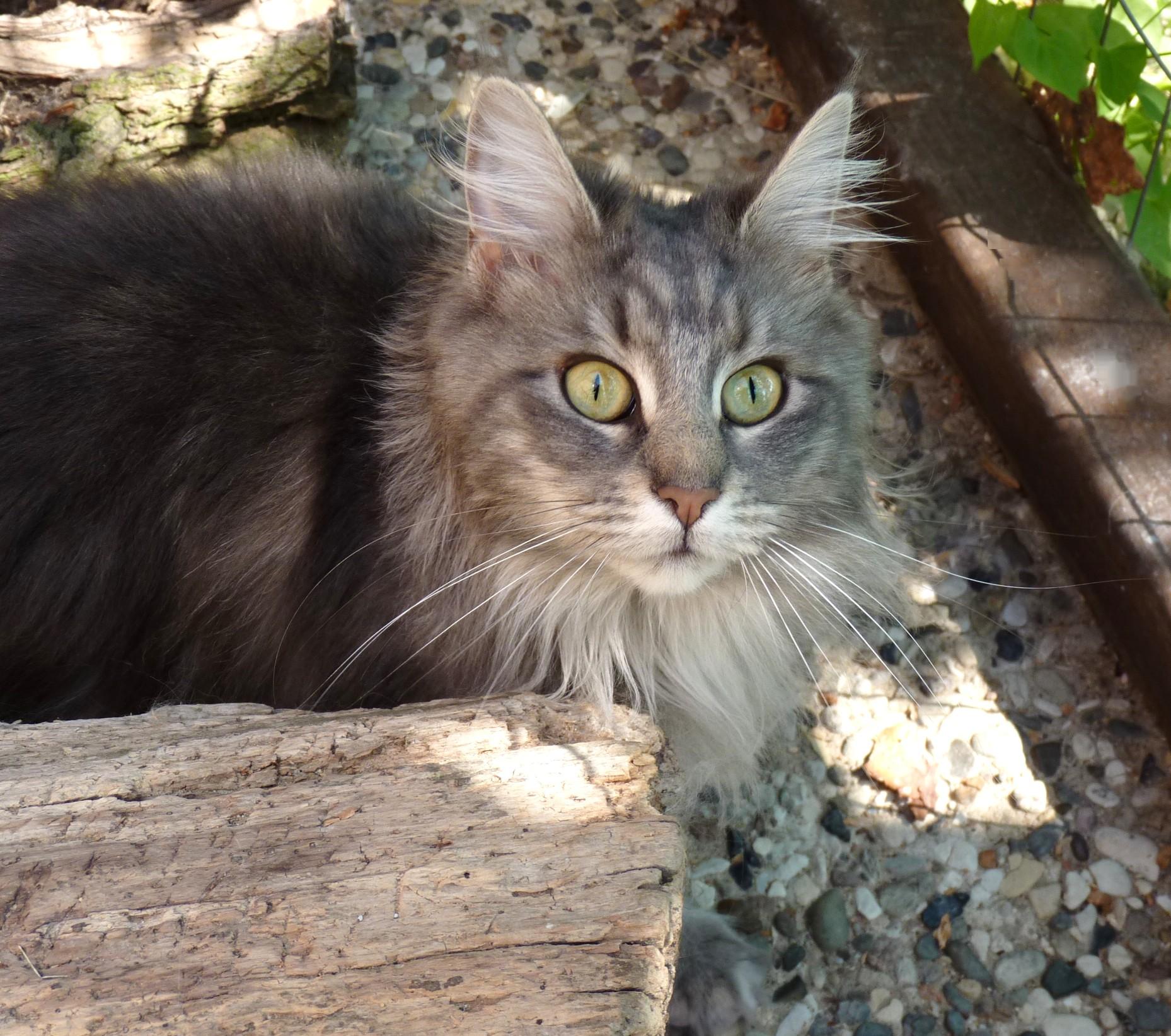 Maine Coon Kitten aus Maine Coon Zucht vom Maine Coon Züchter, typvoll Stammbaum, Papiere, Mainecoonkitten, Maine Coon Zucht, Mainecoonzucht, Berlin, Brandenburg, XXLMainecoonkitten