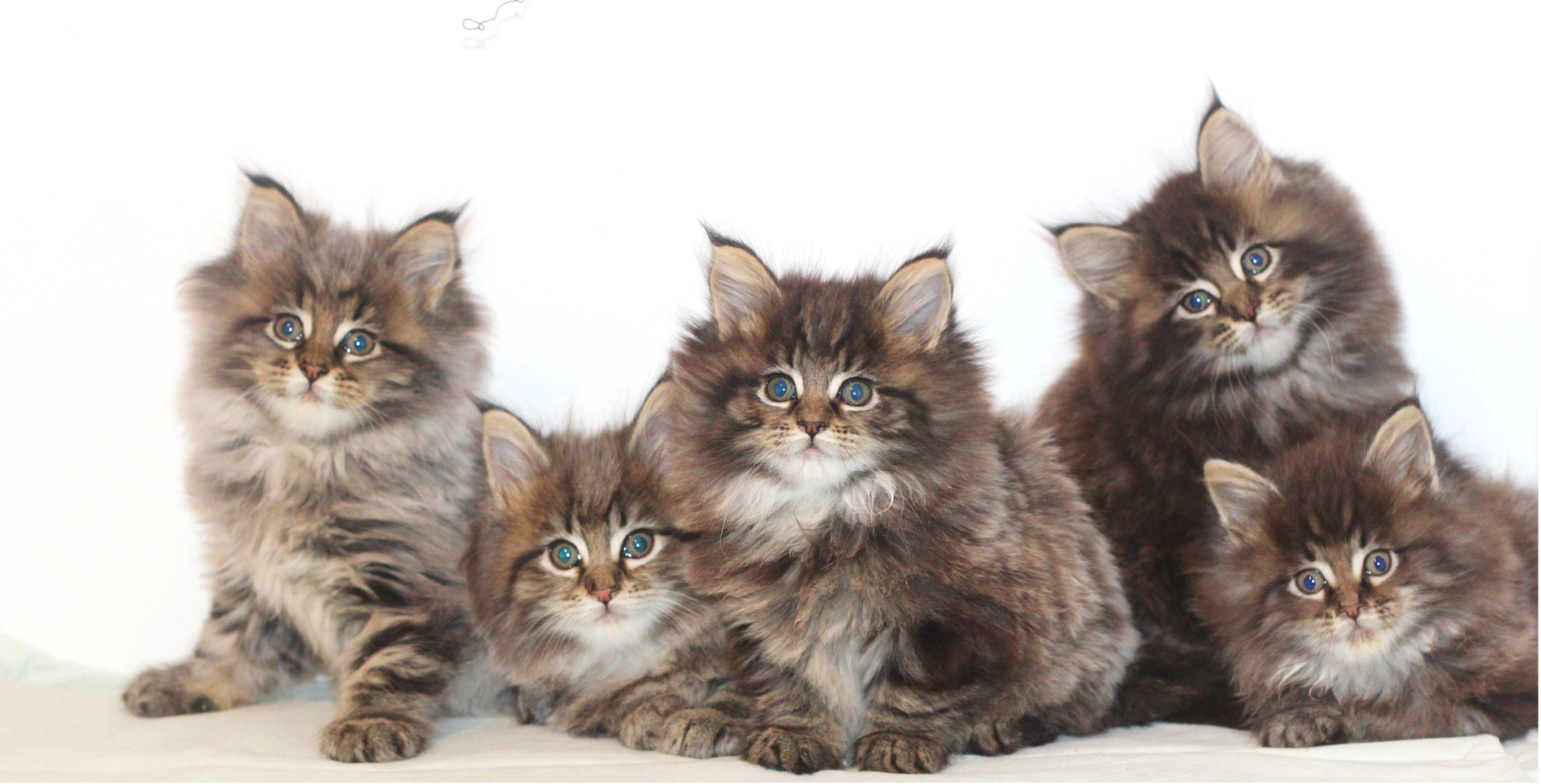 Maine Coon Kitten aus Maine Coon Zucht vom Maine Coon Züchter, typvoll Stammbaum, Papiere, Mainecoonkitten, Maine Coon Zucht, Mainecoonzucht, Berlin, Maine Coon Kitten, Brandenburg, XXLMainecoonkitten