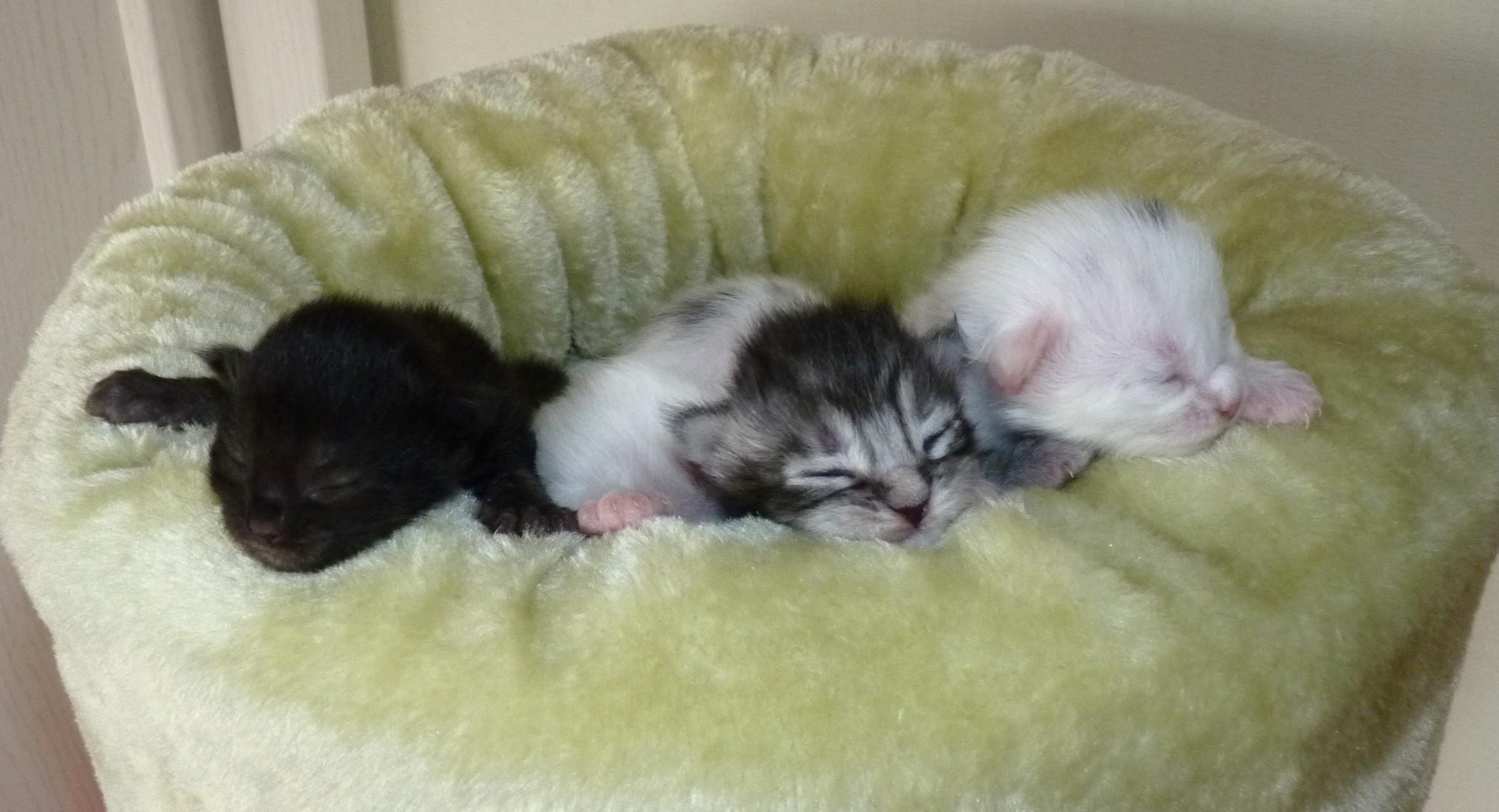 Maine Coon Kitten aus typvoller Maine Coon Zucht mit Stammbaum, Papiere