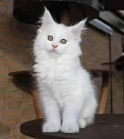 weiße Maine Coon Kitten Zucht