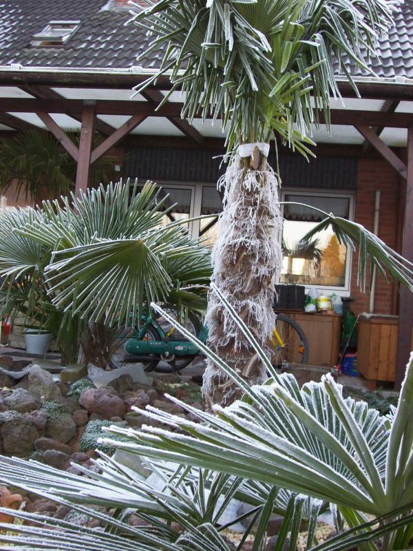 palmen im garten 2007 palme eiskalt. Black Bedroom Furniture Sets. Home Design Ideas