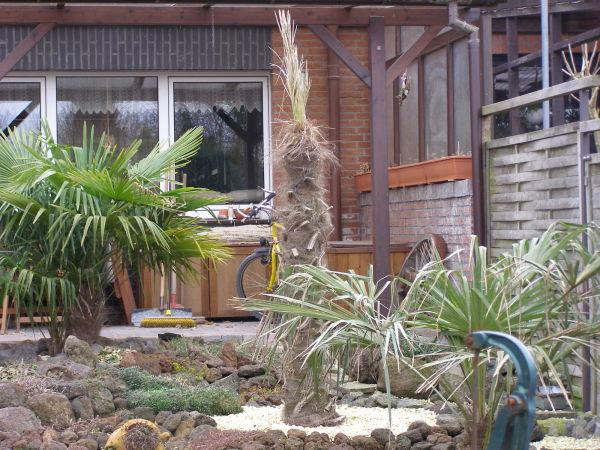 palmen im garten 2009 frostschaden. Black Bedroom Furniture Sets. Home Design Ideas