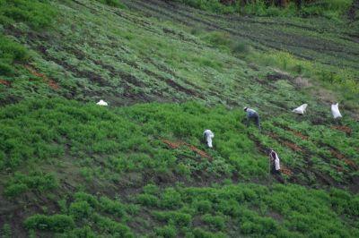 Kwapfel-Plantage in Japan