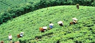 Kwapfel-Plantage in Japan 2