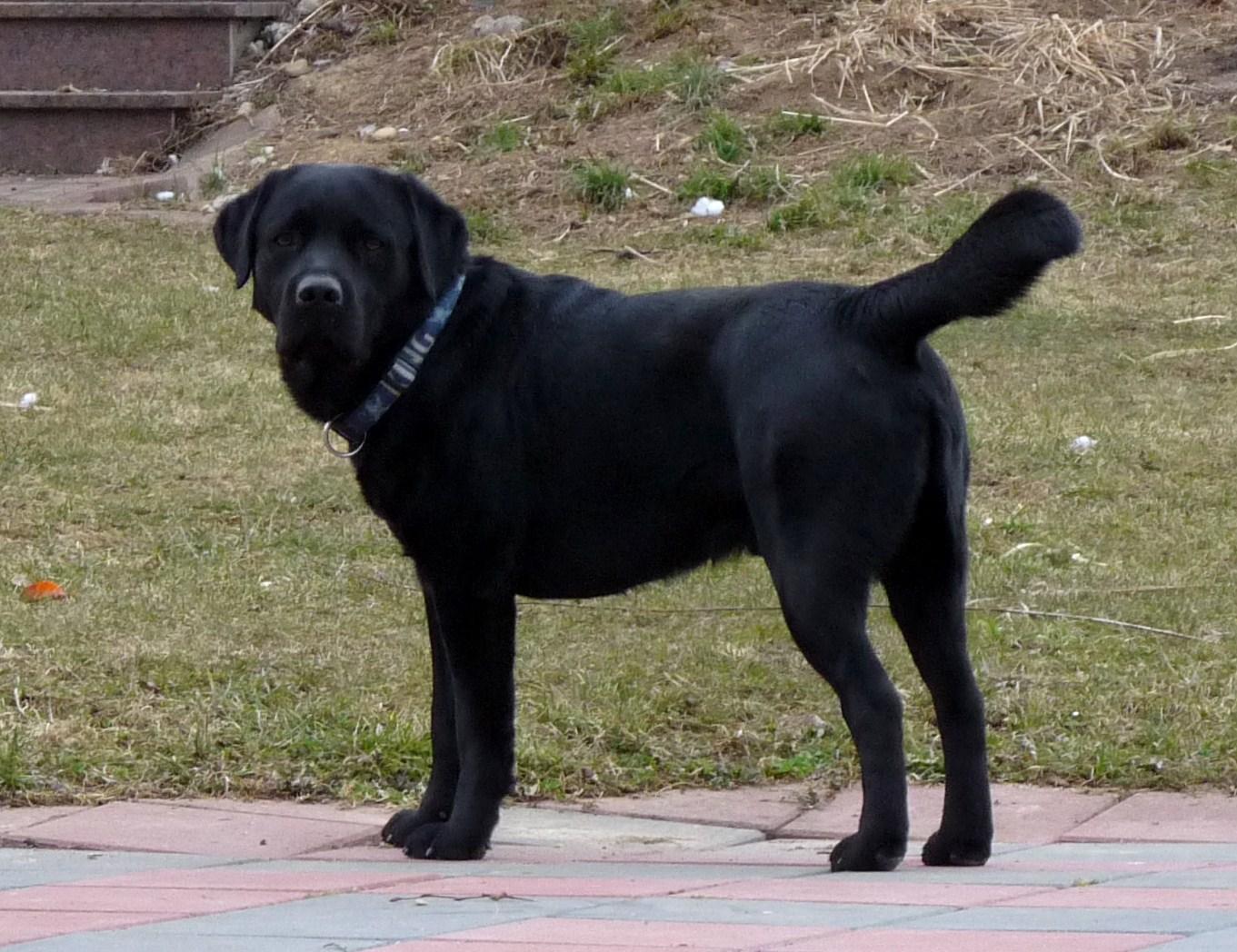 zwerg labrador