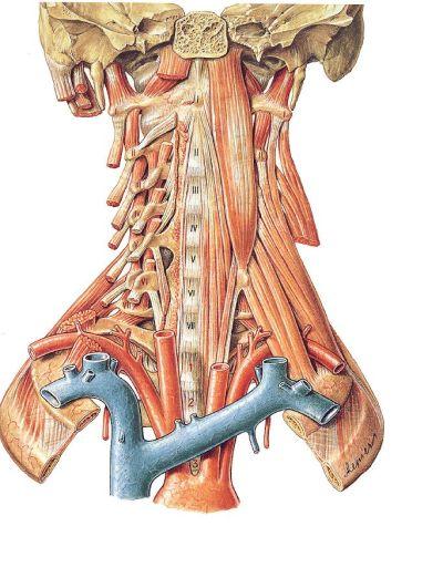 Life & health - Músculos del cuello