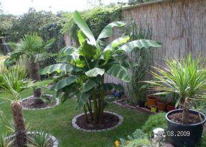 winterharte palmen in r dersdorf b berlin bananen bilder. Black Bedroom Furniture Sets. Home Design Ideas