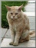 red silver clasic tabby