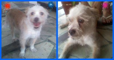 03/01/2010 - En la búsqueda de Cirilo encontré este perrito adentro de la heladeria de Velez Sarsfield y Av Alverdi, es machito, esta bien cuidado, hace un día que está ahí y parece estar perdido,por ahora los que trabajan en la heladería lo estaban cuidando, por favor difundir!