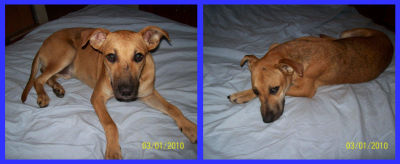 04/01/2010 - Jacko, apareció lastimado y asustado  el 31 a  la  tarde en patio de la madera, es un  dulce, duerme  todo el  día, tiene  aprox 8 meses, esta  semana  será  castrado, ya  lo vacunamos. CONTACTO: ALEJANDRA 155-528093