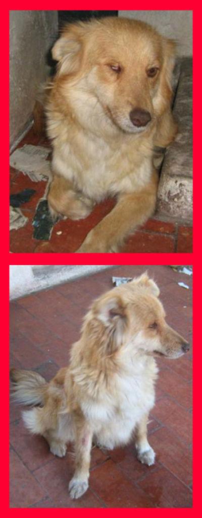 5/11/2009 - Juana fue rescatada de la calle 3 de febrero y Santiago atada a un contenedor con sus 5 bebés recién nacidos. Ellos fueron dados en adopción. Está esterilizada, desparasitada y vacunada, es una perra hermosa, tamaño chico (12 kg), tiene alrededor de 2 años un pelaje suave, es cariñosa, se lleva bien con otros perros, es dulce y muy mimosa. Sólo tiene una característica, cuando la rescatamos tenia un ojito muy mal y lo perdió, ahora tiene el párpado cerrado. Ojala pueda encontrarle un hogar donde la amen y mimen mucho... CONTACTO: (0341) 156-879850 calee86@hotmail.com