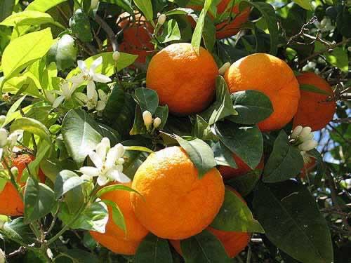 Portakal hakkında bilgi,portakal ekimi
