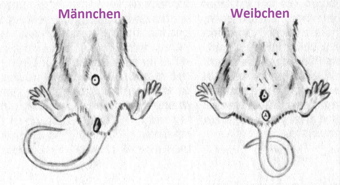 wie verführen mäuse ihre weibchen