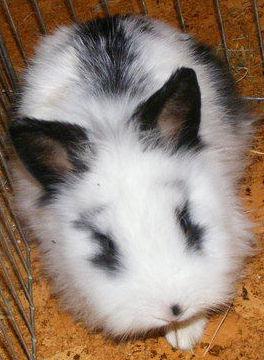 conejo-mascota-arequipa