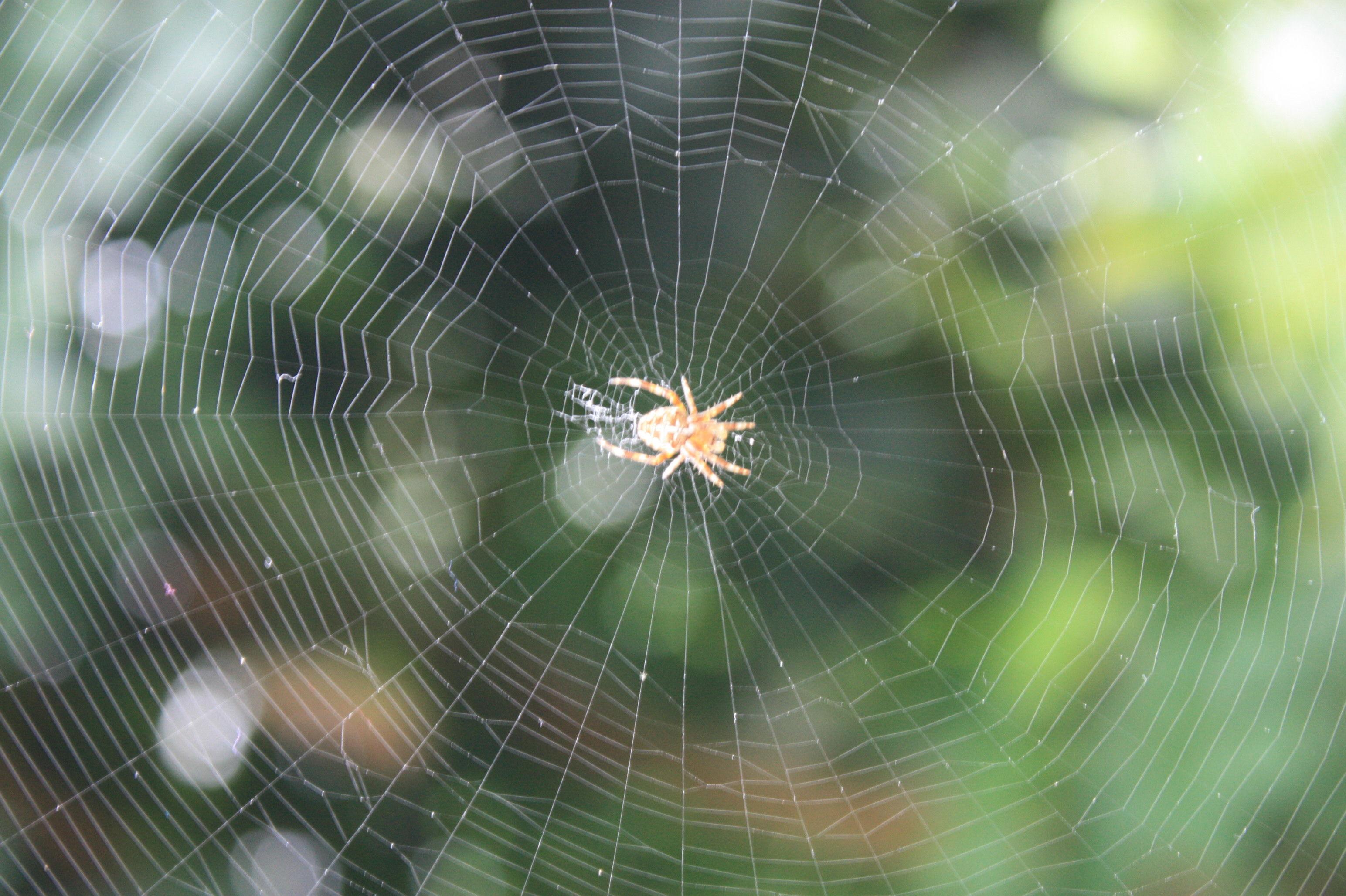 çrümcek ağı, spider web