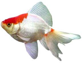 Mundo acuatico pez bailarina for Enfermedades de peces goldfish