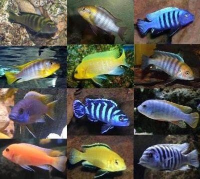 Mundo acuatico ciclidos africanos del malawi for Comida viva para peces