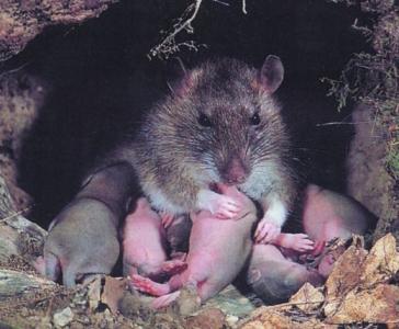 Biologie - Ratten