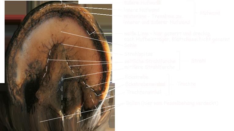 naturhufe - > Anatomie