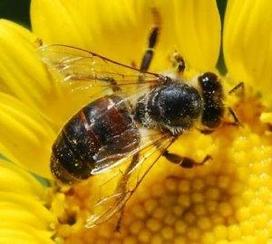 bal arısı hakkında bilgiler