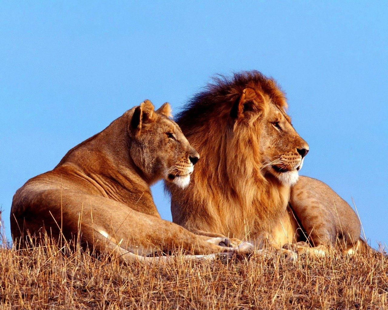 Aslan Resimleri,aslanların yaşam döngüsü