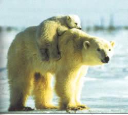 ayıların yaşam döngüsü
