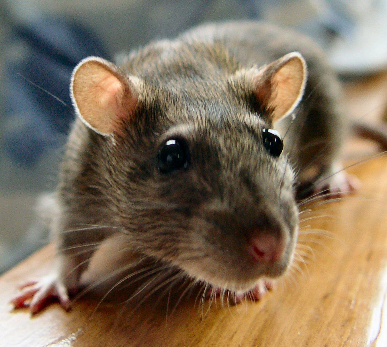 fare resimleri bilgileri