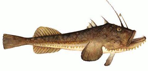 fener balığı hakkında
