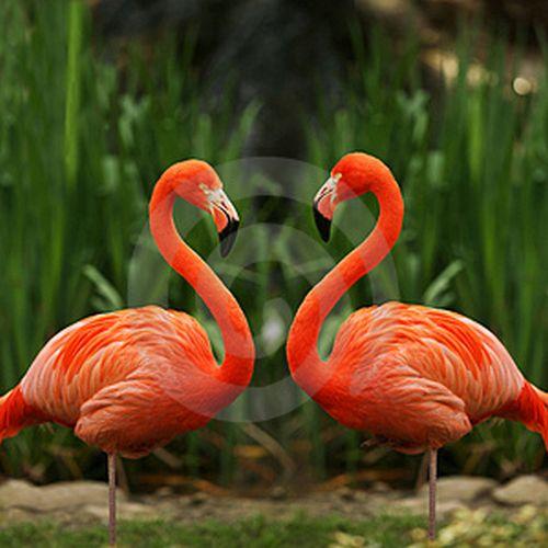 flamingo hakkında bilgiler