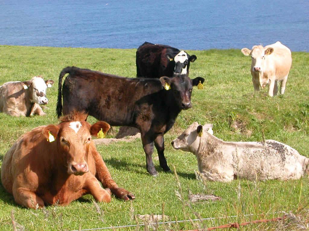 inekler hakkında bilgi