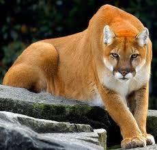 jaguar hakkında bilgiler